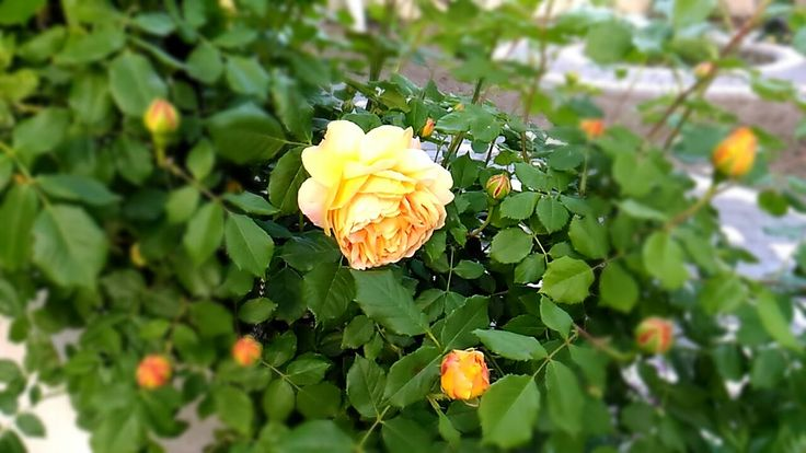 Beautiful yellow roses  #flowersyellowroses #redandyellowroses Beautiful yellow roses