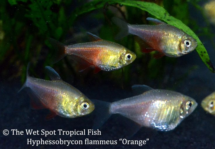 153 best images about tetras on pinterest south america for Wet spot fish