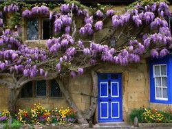 violet flowering vines, stone walls and blue trim doors and windows: Vans Zanten, Blue Doors, Southern Gardens, Wisteria, Cottages, Flowers, Barbara Vans, United Kingdom, Broadway
