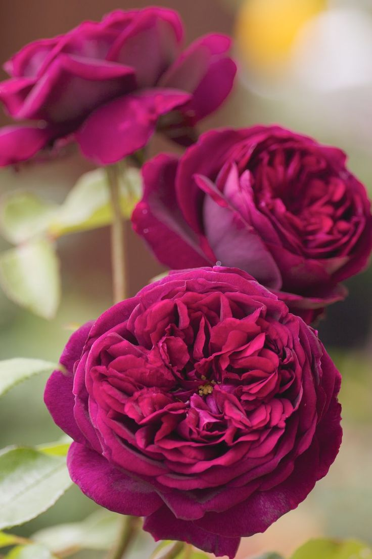 David Austin rose, The Prince.  Wow!