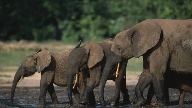 Forest elephant numbers have decreased by 62% across Central Africa over the last 10 years, according to a study. The analysis confirmed fears that African forest elephants (Loxodonta cyclotis) are heading for extinction, possibly within the next decade. (via BBC)
