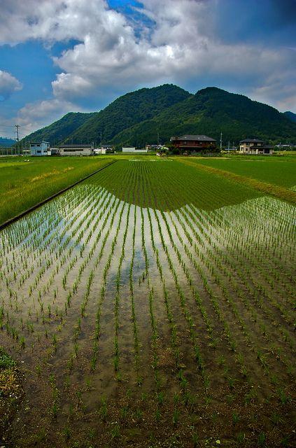 Rice Fields, outside of Himeji in Hyogo Prefecture, Japan.