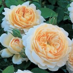 Crocus Rose - David Austin Roses (particularly free flowering) 〔To replace rose in courtyard〕