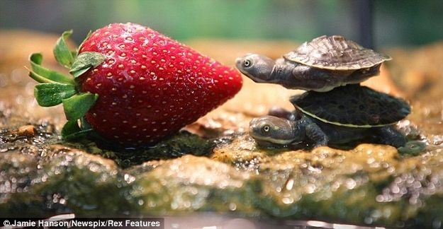 The two cutest baby turtles I have ever seen! It takes two to be as large as a strawberry.