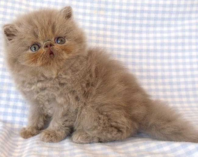Himalayan Kittens for Sale by MeowHouseKittens.com