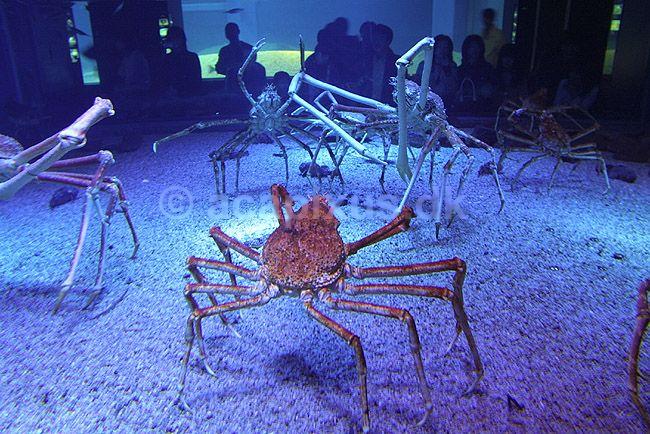 araignée de mer géante du japon