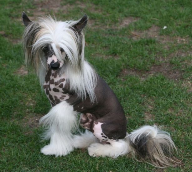 the dark body and white hair of this Chinese Crested is very striking and unique