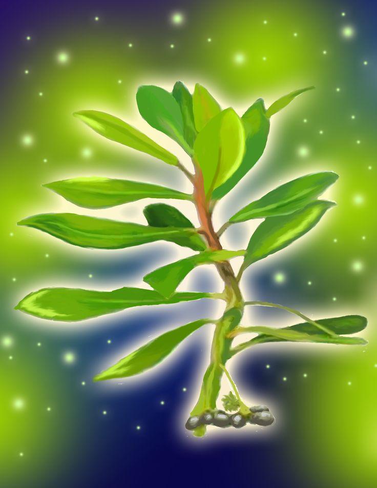Canelo (en la cultura mapuche este árbol tiene carácter sagrado y es el símbolo de la machi).