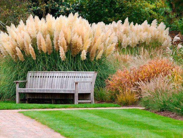 Пампасная трава на участке: выращивание и уход