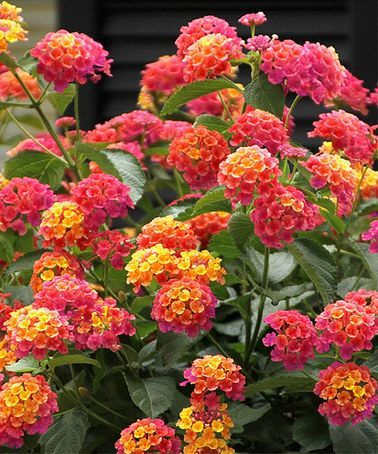 Lantana grows as a bush and can reach up to 6 feet tall and wide. Plant in full sun and needs only moderate watering. Enjoy this attractive plant as butterflies enjoy the sweet nectar from the beautiful blooms.