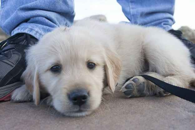 Don't make me walk. I won't do it. | 60 Times Golden Retrievers Were So Adorable You Wanted To Cry