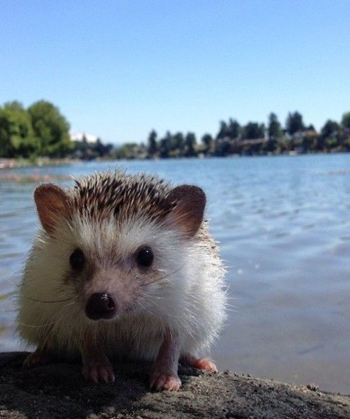 Best Hedgehog Jewelry Images On Pinterest Brooches Animal - This instagram account will satisfy your addiction for adorable hedgehogs