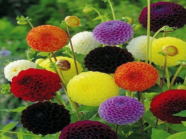 Dalia Pomponowa Mix 5 Szt Gratis B 7130340782 Oficjalne Archiwum Allegro Plants Gratis Grapes