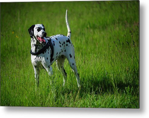 Brave Stand. Kokkie. Dalmation Dog Metal Print by Jenny Rainbow.  All metal prints are professionally printed, packaged, and shipped within 3 - 4 business days and delivered ready-to-hang on your wall. Choose from multiple sizes and mounting options.