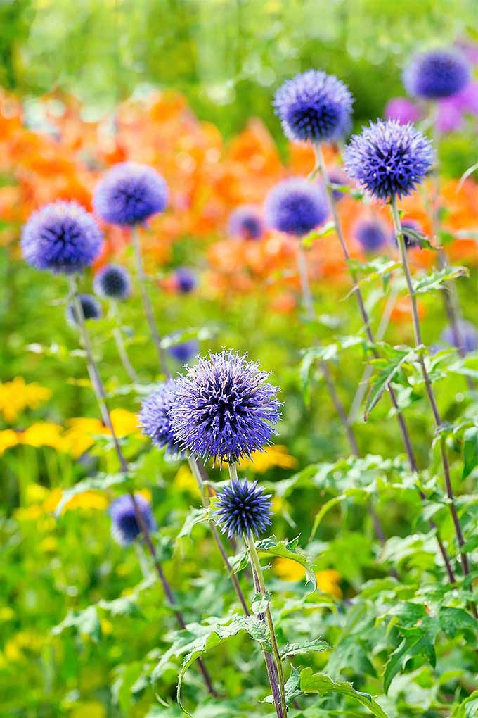 How To Grow Small Globe Thistle Flower Garden Plans Plants Xeriscape Plants