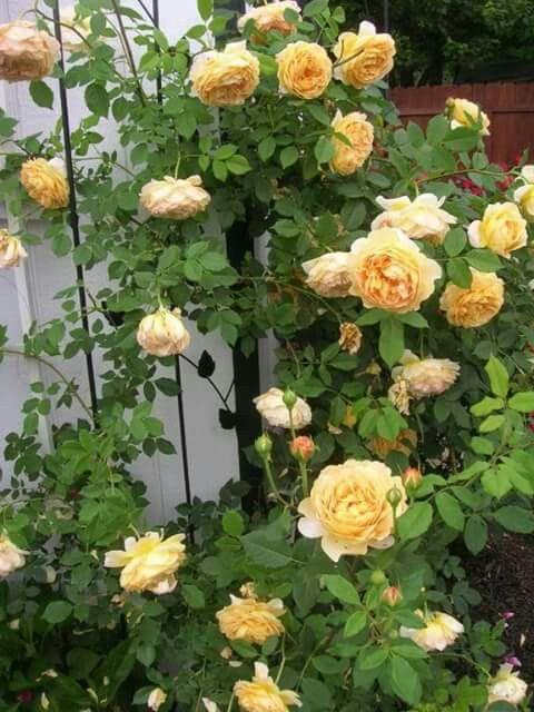 Hồng leo Golden celebration: form hoa lớn tới 10 cm, hoa có màu vàng tươi sáng, đem lại sự phú quý, sang trọng cho ngôi nhà của bạn, cây kháng bệnh tốt, ra hoa quanh năm, mùi thơm là sự kết hợp giữa ruợu vang và dâu tây