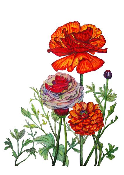 Ranunculus Painting by G YY
