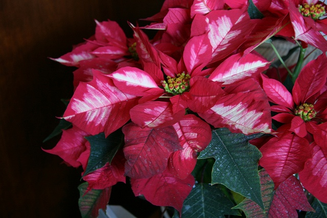 Poinsettia, Punch and Ice on Pinterest