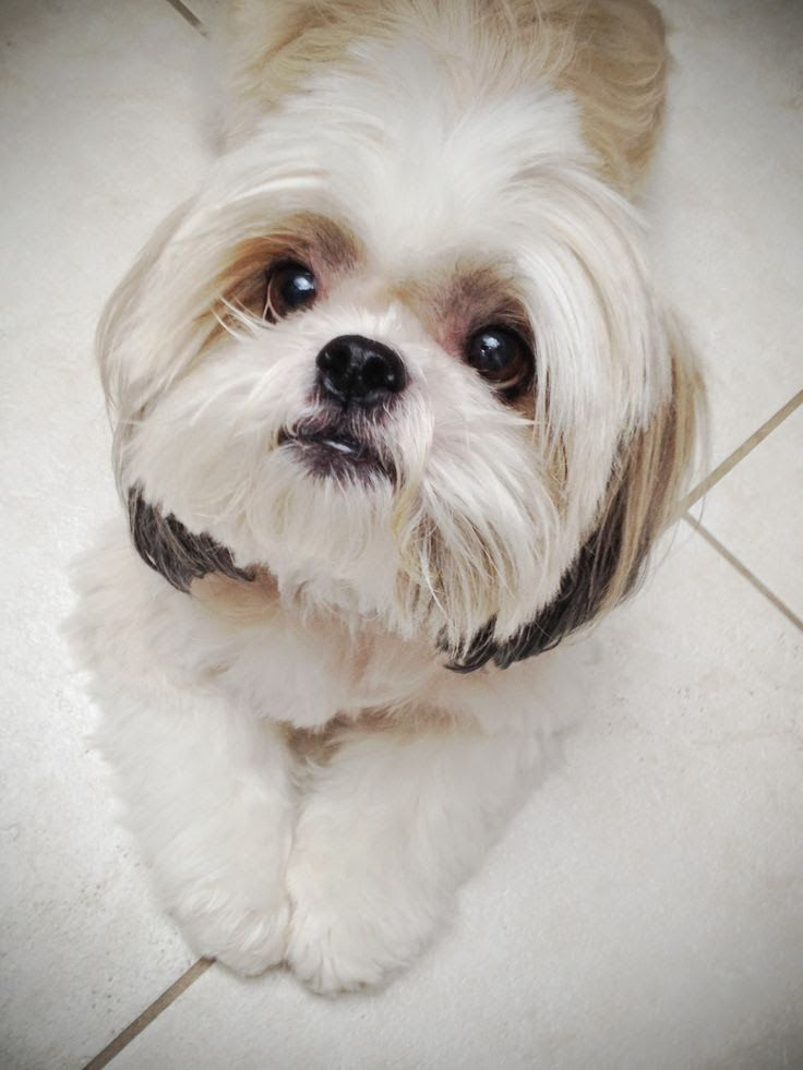 shih tzu photos pictures shih tzus 25 best shih tzu hairstyles images on pinterest shih