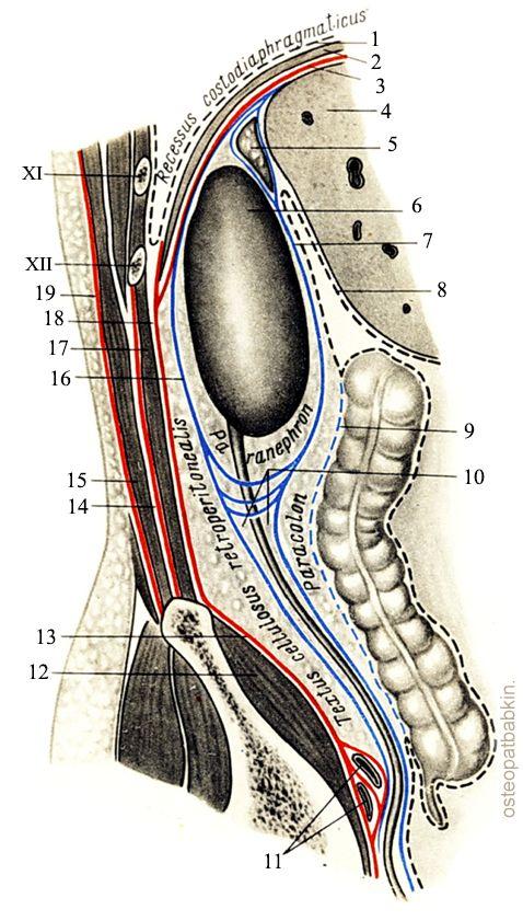 фасции диафрагмы.плевра; 2-диафрагма; 3-fascia diaphragmatica; 4-печень; 5-надпочечник; 6-права почка; 7-fascia prerenalis; 8-брюшина; 9-fascia Toldti; 10-paraureterium; 11-vasa iliaca communia; 12-m. iliacus; 13-fascia iliaca; 14-aponeurosis m. transversi abdominis (глубокий листок fascia thoracolumbalis); 15-m. erector spinae; 16- fascia retrorenalis; 17-m. quadratus lumborum; 18-arcus lumbocostalis lateralis; 19-fascia thoracolumbalis.