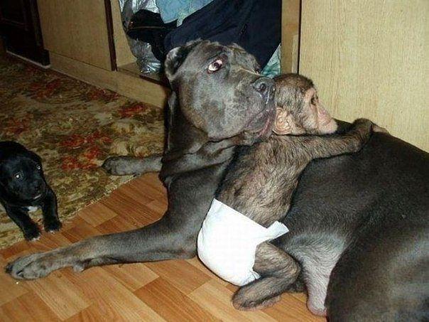 Ну разве важно как выглядит любящая мама? Когда в зоопарке умерла шимпанзе, недавно родившая малыша, сотруднику пришлось взять шимпанзенка домой для выкармливания. И тут случилось чудо - о маленькой обезьянке стала заботиться собака, как раз в это время выкармливающая щенков.