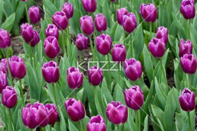 Purple Tulip Garden - Springtime garden of purple tulips.