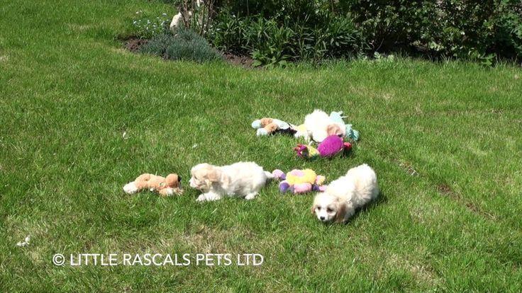 Little Rascals Uk Breeders New Litter Of Cavachon Puppies Little Rascals Pup Cute Cavachon Puppies Cavachon Cute Puppies