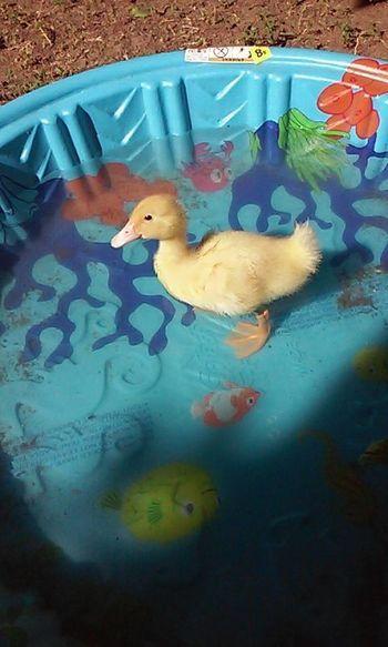 Pekin ducks week by week