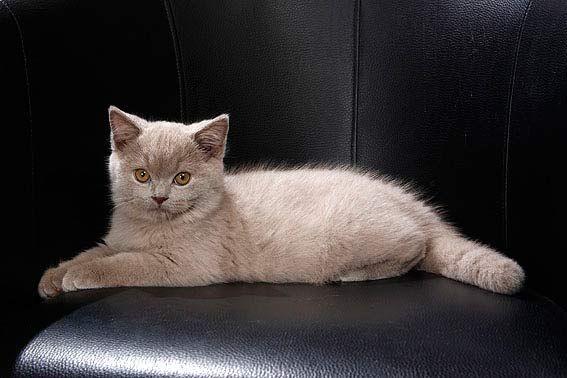 Britisch Kurzhaar-Katzen sind ruhig und unkompliziert
