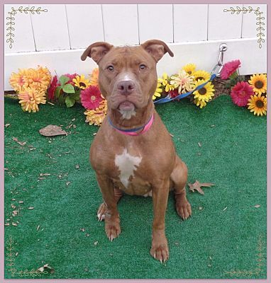 Pictures of LEONA a Pit Bull Terrier for adoption in Marietta, GA who needs a loving home.