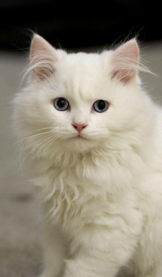 Top 10 Katzenrassen, die Wasser lieben  Lassen Sie sich nicht von ihrer zarten, schönen Erscheinung täuschen. Wie ihre Cousine, der türkische Van, liebt die türkische Angora das Wasser und wird leicht darin spielen.