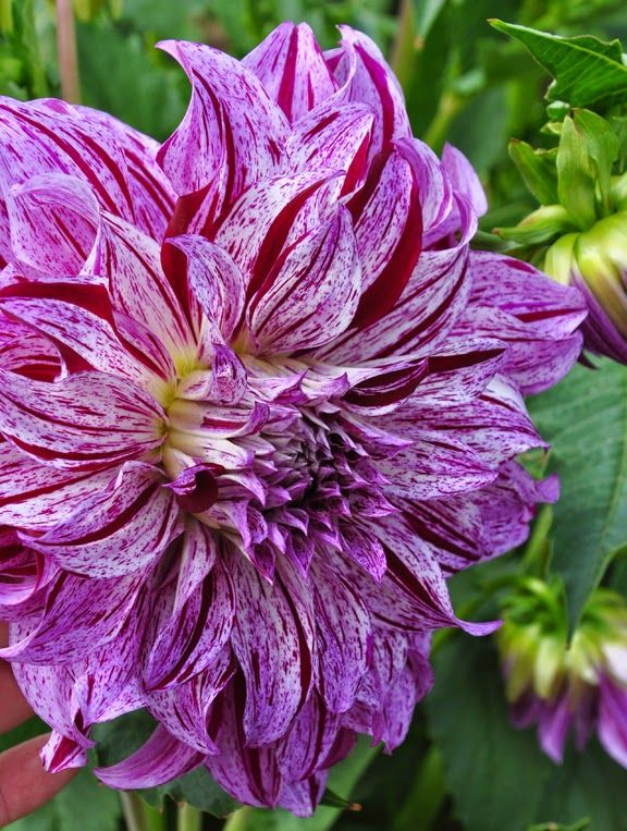 Three Dogs In A Garden: Part 2: The Dinner Plates Dahlias U0026 Flowers For