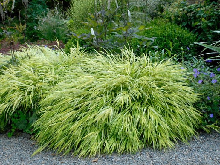Types of ornamental grasses grasses yards and gardens for Tall oriental grass