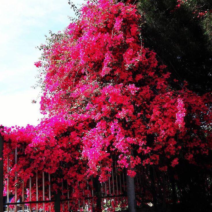 #Bugambilias#spring  #flowers #flower #nature #naturallight#fullcolor #amateurphotography #amateurphotographer #flores #flor #bugambilia#bugambilias #naturaleza  #flowers #flower #petal #petals #nature #beautiful #love #flowerstagram #flowersofinstagram #flowerstyles_gf #flowerslovers #flowerporn #botanical #flowermagic#floweroftheday #photooftheday  #reggiocalabria  #yallerscalabria http://gelinshop.com/ipost/1518101475279241833/?code=BURYT-fBAJp