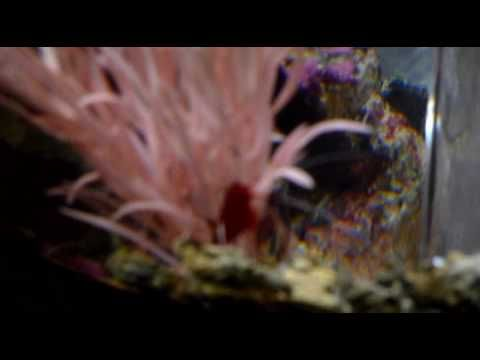 Biorb Marine Fish Tank containing 2 Clownfish and 2 Fire Shrimps - YouTube
