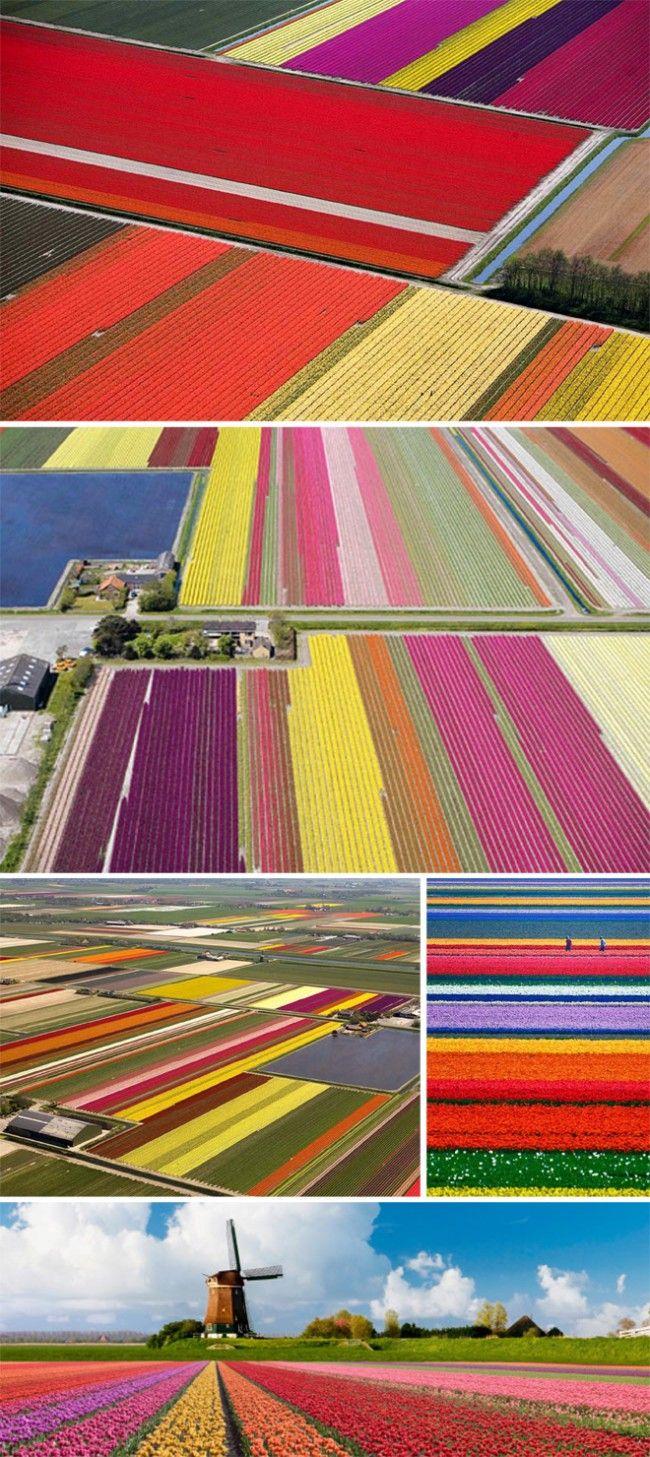 Technicolored tulip fields.