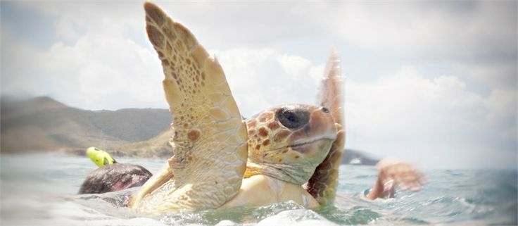 Help save threatened and endangered sea turtle species by clicking on this pin and seeing what you can do for the island of St. Kitts that is a nesting site for critically endangered and endangered sea turtles!