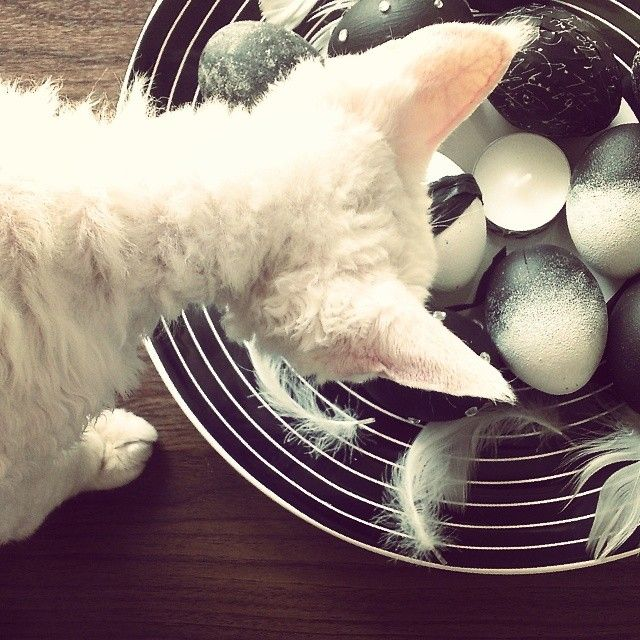 Tylko sobie pooglądam ! ;)) #cat #devonrex #egs #easter #blackandwhite #onthetable