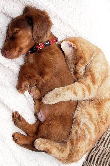 Puppy and kitten spooning