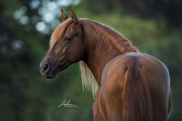 Andalusier Hengst im Portrait | Fuchs | Pferd | Bilder | Foto | Fotografie | Fotoshooting | Pferdefotografie | Pferdefotograf | Ideen | Inspiration | Pferdefotos | Horse | Photography | Photo | Pictures