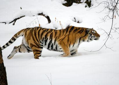 Siberian tiger.......gorgeous♥