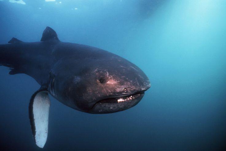 Mega Mouth Shark (Megachasma pelagios) - Discovery Chanel