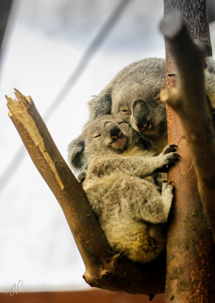 Planckendael – Koala