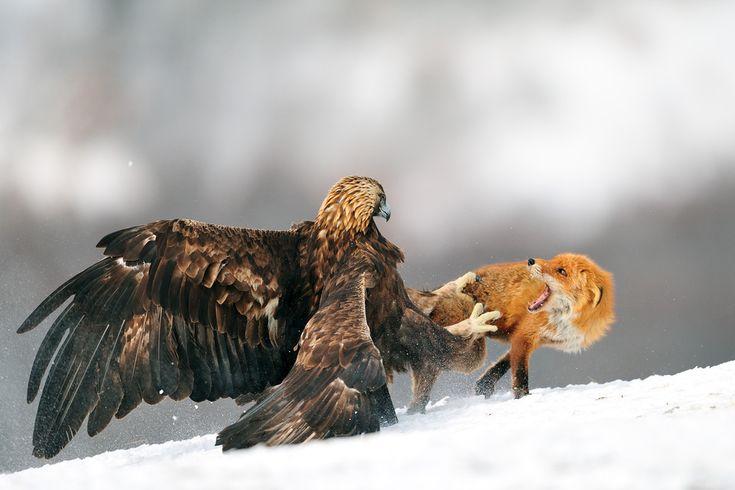 Eagle vs Fox!! Bulgarian style, - Imgur