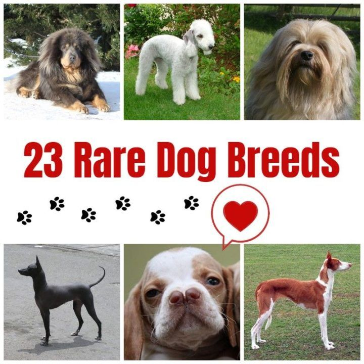 rare dog breeds list