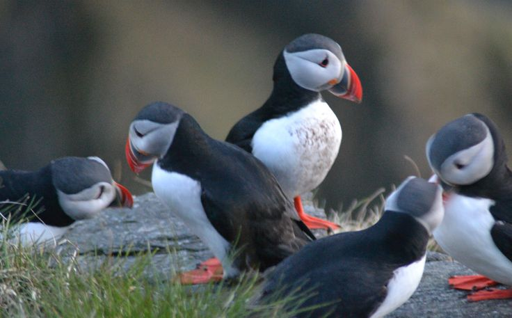 Puffins Runde bird and treasure island # Norway