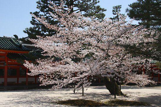 Somei-Yoshino Cherry Tree (Prunus x yedoensis) (from Francois' Japan Blog)