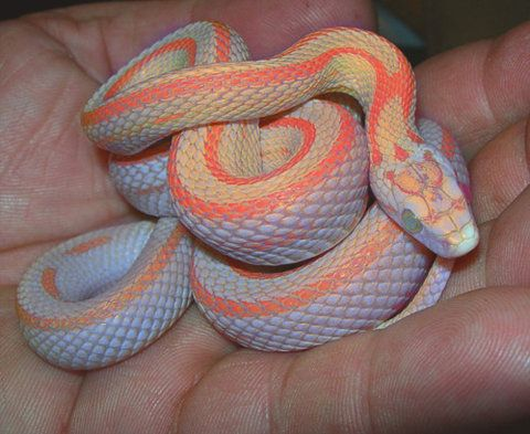 Only way I would ever get a snake.