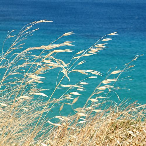 sea oats - beautiful colors