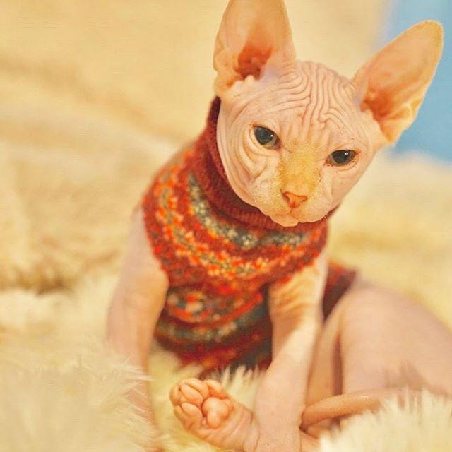 Happy International Cat day friends!  . . . . . #sphynx #sphynxcat #cat #cats #c…